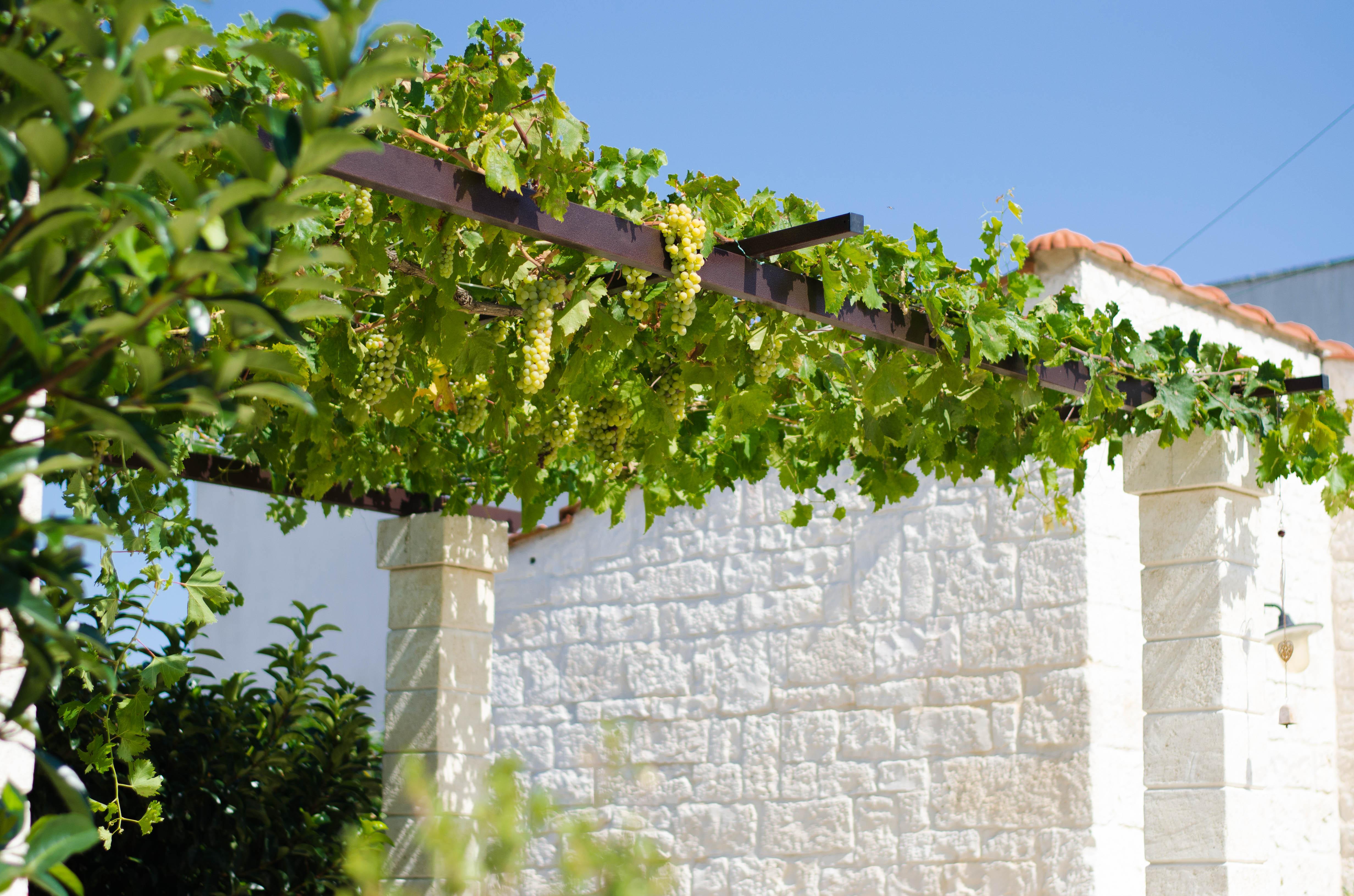 uva1 Puglia ed Alberobello - parte 1-