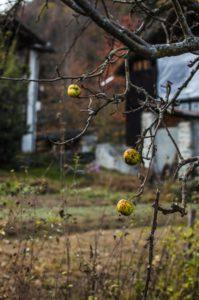 albero-mele-199x300 albero mele